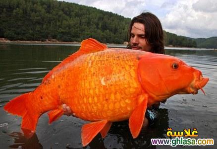 سمكه ذهبيه بقيمة 30 باوند 2019 صور سمكه ذهبيه 20184 ghlasa1377820953961.jpg